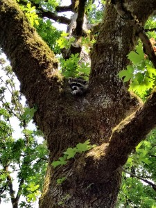 """This raccoon has been making itself at home, using my backyard as a hub. I recently discovered why: it's a """"she"""" and she had four cubs. I know I'm supposed to do something about it ... but they're awfully cute."""