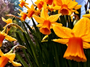 Photo of the month: The first daffodils, early morning. They bloomed early this year.